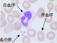 血液の中にある細胞
